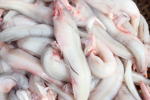 Hà Tĩnh: Mùa cá cháo bãi ngang những ngày cuối năm 2020 - 7