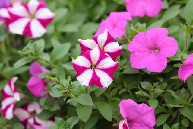 Đồi hoa ngọc thảo hồng đẹp như tranh vẽ tại Hà Nội - 12