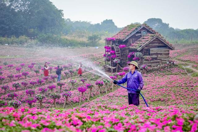 Đồi hoa ngọc thảo hồng đẹp như tranh vẽ tại Hà Nội - 3