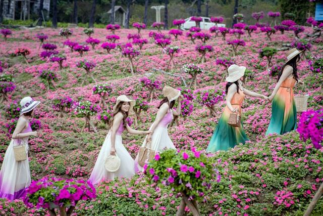 Đồi hoa ngọc thảo hồng đẹp như tranh vẽ tại Hà Nội - 1