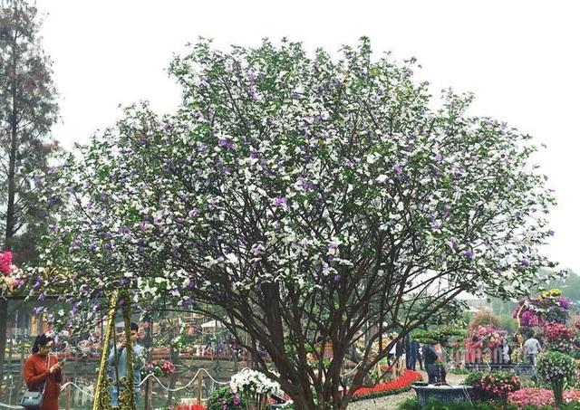 Cây nhài cổ thụ hoa biến đổi màu, đại gia xếp hàng rước về chơi Tết - 1