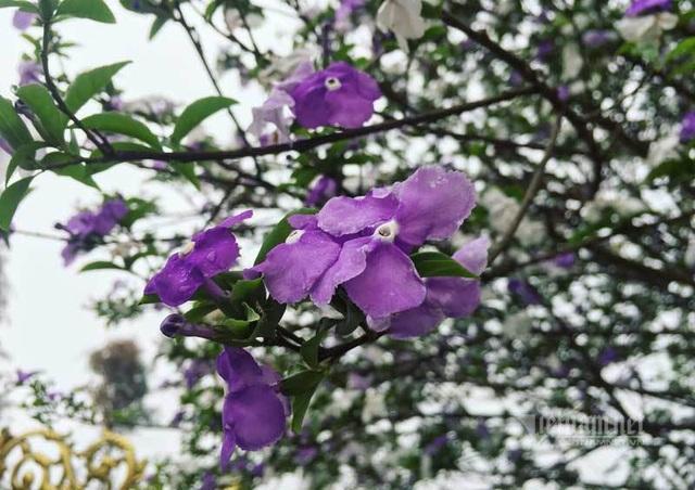 Cây nhài cổ thụ hoa biến đổi màu, đại gia xếp hàng rước về chơi Tết - 2