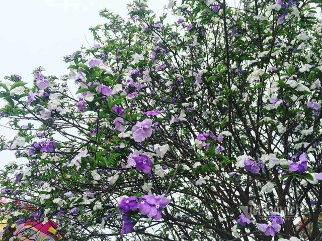 Cây nhài cổ thụ hoa biến đổi màu, đại gia xếp hàng rước về chơi Tết - 3