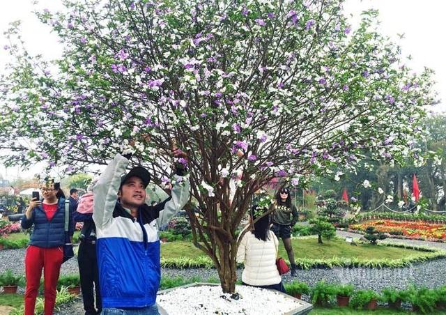 Cây nhài cổ thụ hoa biến đổi màu, đại gia xếp hàng rước về chơi Tết - 4