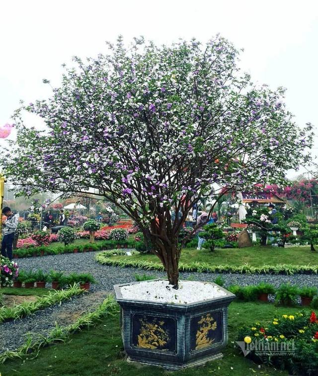 Cây nhài cổ thụ hoa biến đổi màu, đại gia xếp hàng rước về chơi Tết - 5