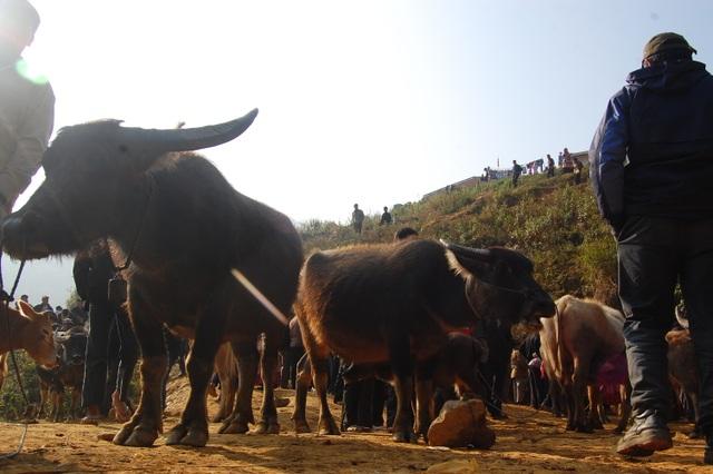 Lào Cai: Tạm dừng các chợ trâu bò vùng cao vì bệnh lạ - 2