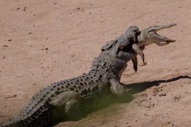 Ngỡ ngàng cảnh cá sấu khổng lồ nặng nửa tấn làm thịt đồng loại - 1