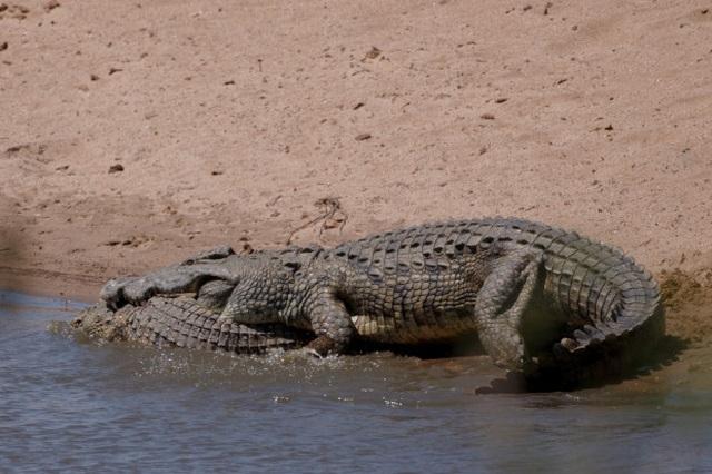 Ngỡ ngàng cảnh cá sấu khổng lồ nặng nửa tấn làm thịt đồng loại - 2