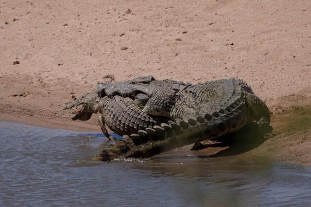 Ngỡ ngàng cảnh cá sấu khổng lồ nặng nửa tấn làm thịt đồng loại - 4