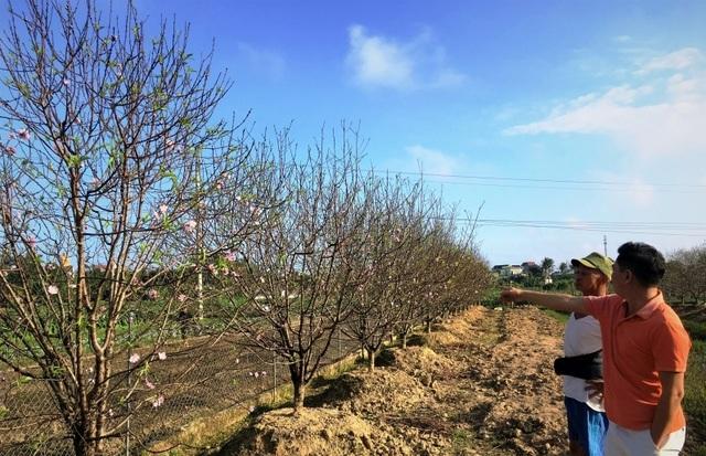 Chưa đến Tết Dương lịch, nhiều vườn đào đã bung nở - 3