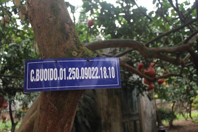 Cụ bưởi đỏ 60 tuổi ở Hà Nội được đeo mã số, mỗi năm ra 400 quả trĩu trịt - 1