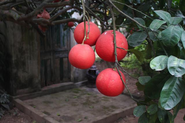 Cụ bưởi đỏ 60 tuổi ở Hà Nội được đeo mã số, mỗi năm ra 400 quả trĩu trịt - 2