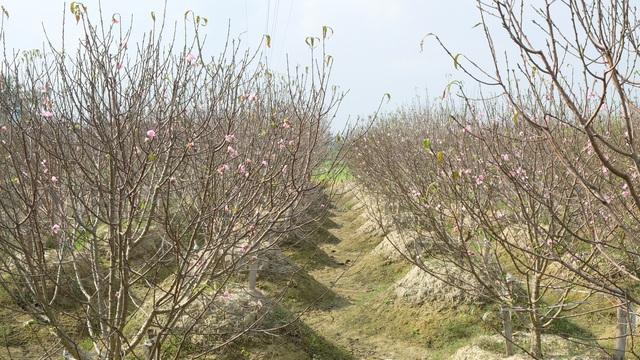 Chưa đến Tết Dương lịch, nhiều vườn đào đã bung nở - 9