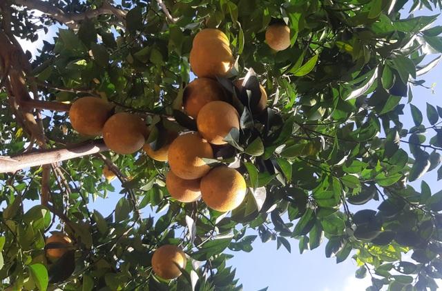 Thu tiền tỷ nhờ mạnh dạn trồng cam trên đất phong hóa - 2