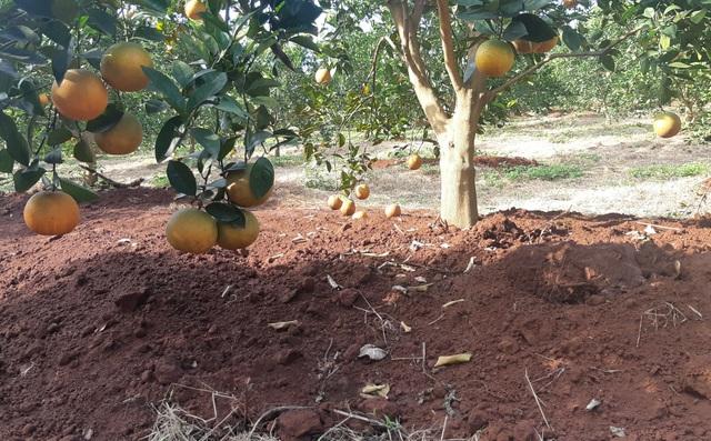 Thu tiền tỷ nhờ mạnh dạn trồng cam trên đất phong hóa - 1