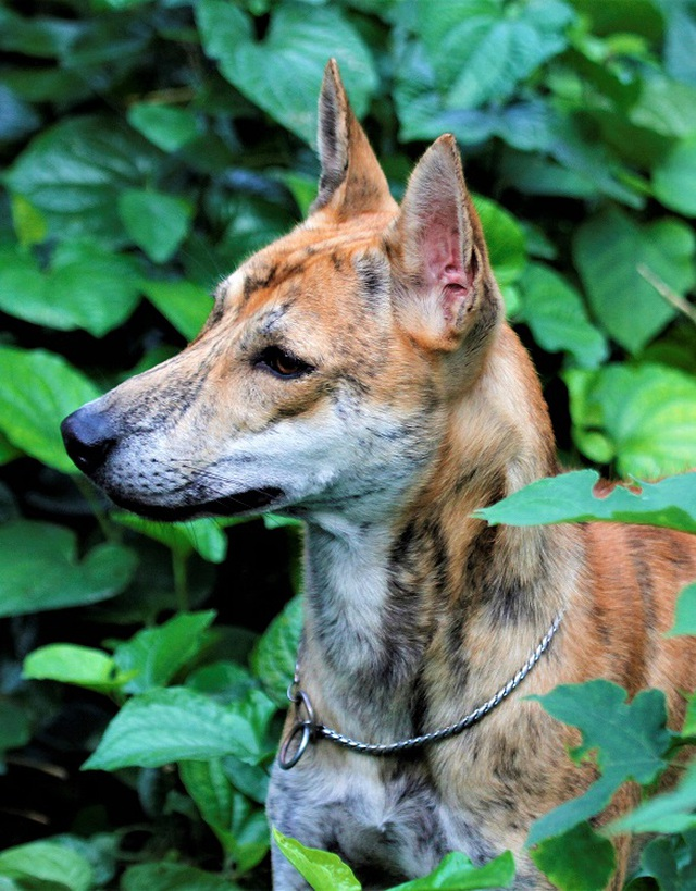 Chiêm ngưỡng 3 chú chó Phú Quốc độc nhất Việt Nam có tổng giá trị gần 1 tỷ đồng - 8