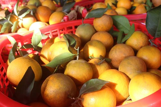 Thu tiền tỷ nhờ mạnh dạn trồng cam trên đất phong hóa - 4