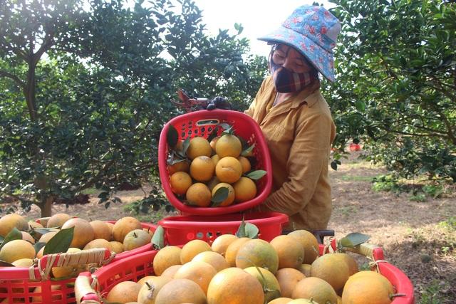Thu tiền tỷ nhờ mạnh dạn trồng cam trên đất phong hóa - 5