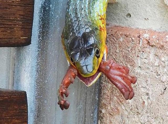 Rùng mình xem cảnh rắn xanh bò tường nhà, nuốt chửng ếch - 1