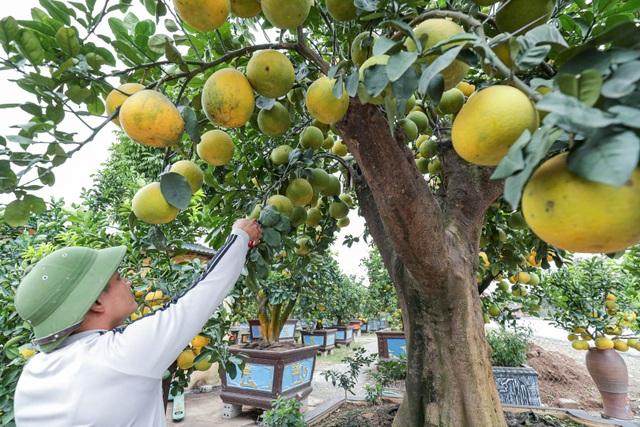 Chiêm ngưỡng bưởi siêu độc dáng làng giá 200 triệu ở Hưng Yên - 4