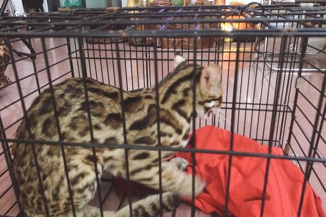 Người dân mua cá thể mèo rừng bàn giao cho cơ quan chức năng - 1