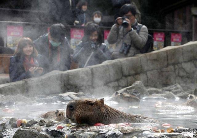 Xem chuột lang nước khổng lồ tắm suối nước nóng giữa mùa đông - 1