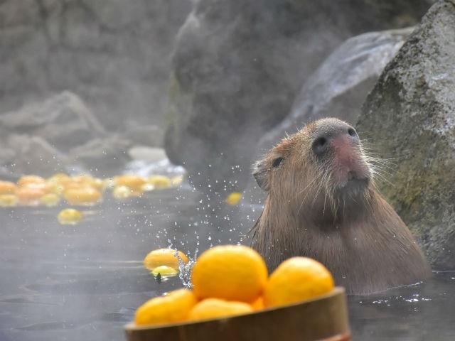 Xem chuột lang nước khổng lồ tắm suối nước nóng giữa mùa đông - 2