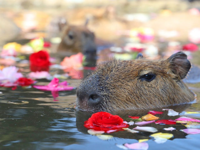 Xem chuột lang nước khổng lồ tắm suối nước nóng giữa mùa đông - 3