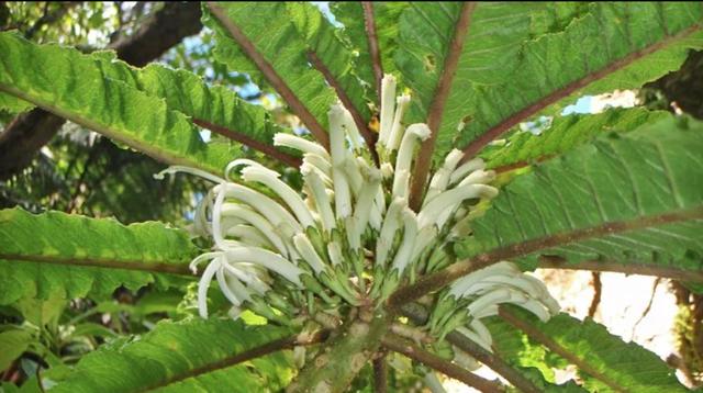 Phát hiện loài hoa siêu hiếm còn tồn tại ở Hawaii - 1