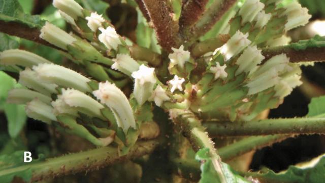 Phát hiện loài hoa siêu hiếm còn tồn tại ở Hawaii - 2