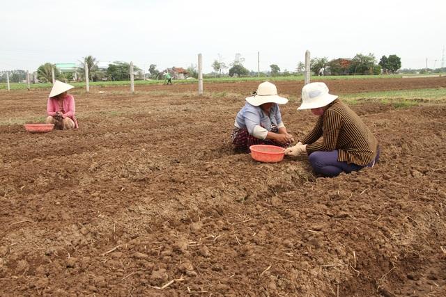 Người trồng hành tím kỳ vọng kiếm 20 triệu đồng tiền lãi vụ giáp Tết - 1