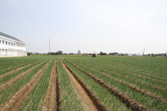 Người trồng hành tím kỳ vọng kiếm 20 triệu đồng tiền lãi vụ giáp Tết - 2
