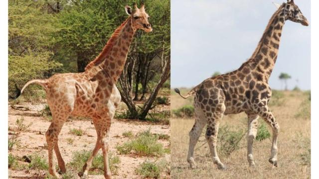 Lần đầu tiên tìm thấy hươu cao cổ… chân ngắn trong tự nhiên - 1