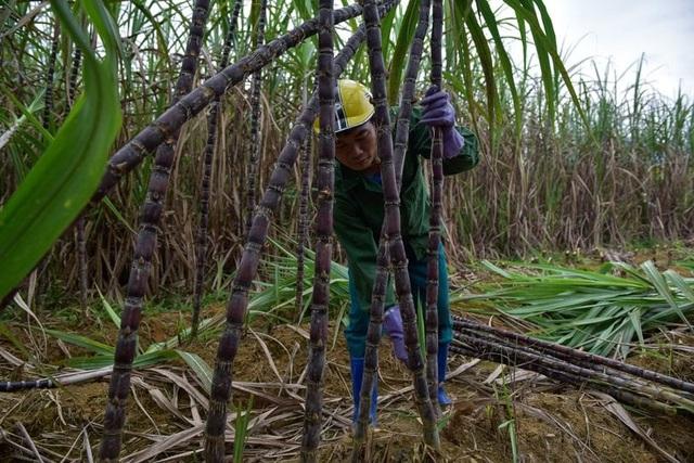 Nông dân lo mất Tết vì mía mất mùa, rớt giá - 3