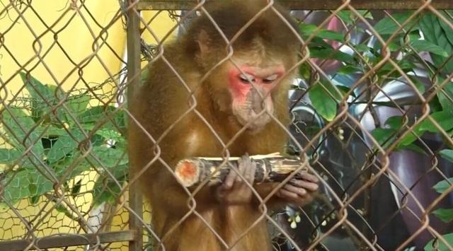 Khỉ mặt đỏ quý hiếm đại náo khu dân cư - 1