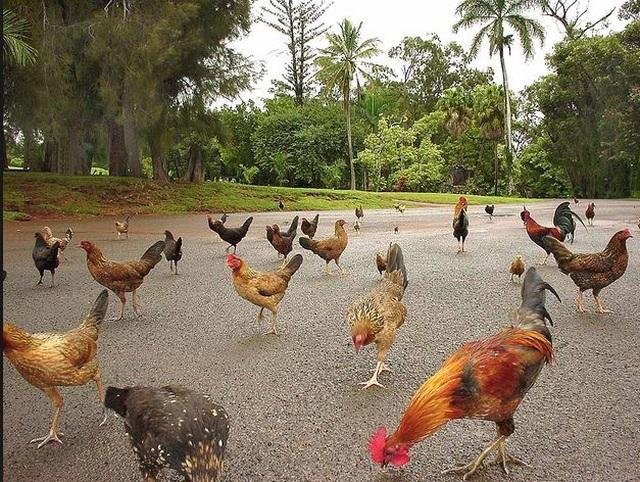 Nơi hàng nghìn con gà hoang thản nhiên đi lại khắp nơi không lo bị bắt giết - 1