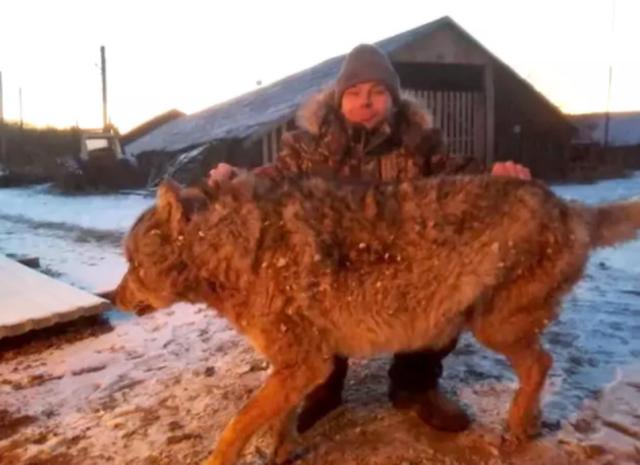Mất chó nhà, người nông dân tay không giết sói - 2