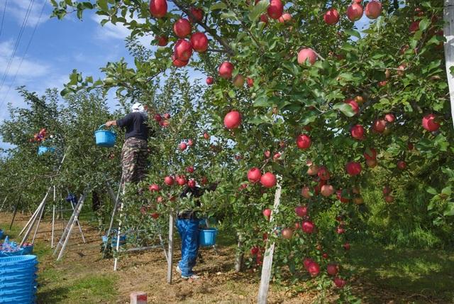 Cơ hội thưởng thức táo Nhật thượng hạng tại Việt Nam chỉ trong 3 tháng! - 2