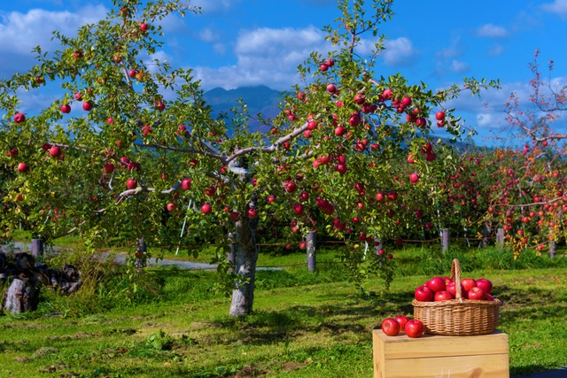 Cơ hội thưởng thức táo Nhật thượng hạng tại Việt Nam chỉ trong 3 tháng! - 3