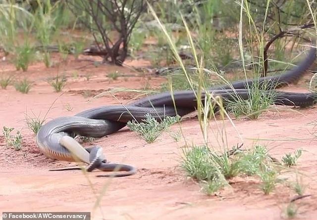 Cuộc chiến tàn khốc giữa 2 con rắn độc trước mùa giao phối - 1