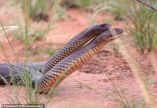Cuộc chiến tàn khốc giữa 2 con rắn độc trước mùa giao phối - 2