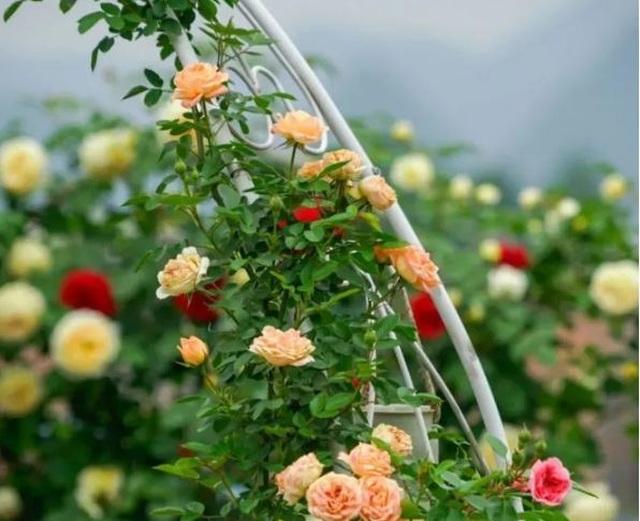 Trồng hoa trên sân thượng, cô gái tạo ra khu vườn cổ tích vạn người mê - 7