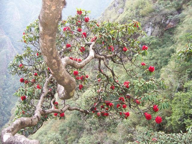 Lào Cai nghiêm cấm mua bán, sử dụng cây rừng quý hiếm chơi Tết - 1