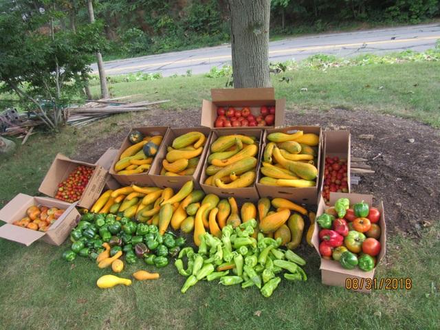 Người đàn ông trồng rau xanh tốt, hoa trái trĩu quả trên... dải phân cách - 5