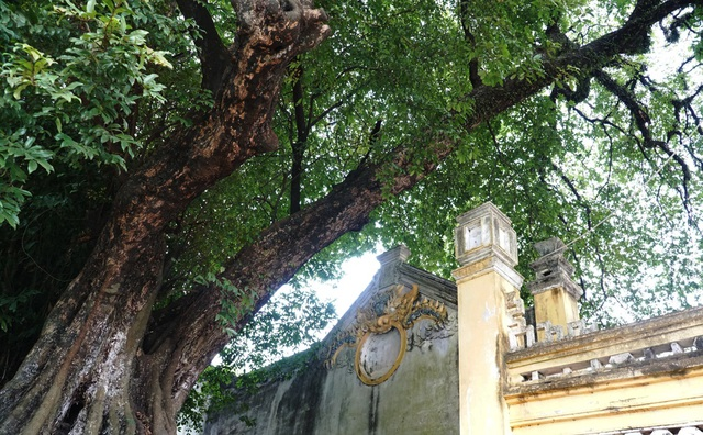 A thrilling story about the treasure of a thousand-year-old sacred tree in Hanoi - 5