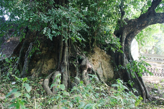 A thrilling story about the treasure of a thousand-year-old sacred tree in Hanoi - 6