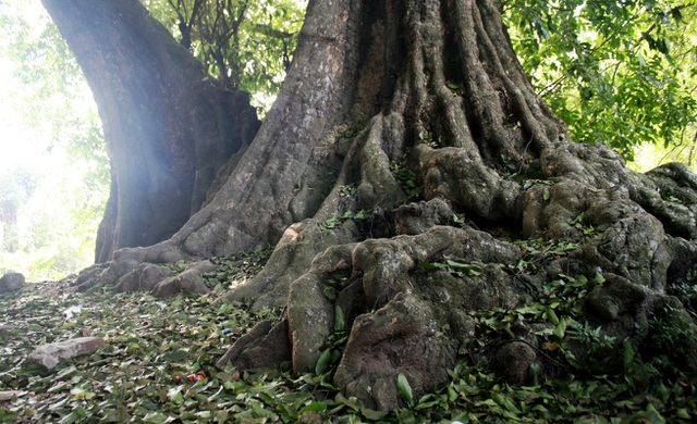 A thrilling story about the treasure of a thousand-year-old sacred tree in Hanoi - 7