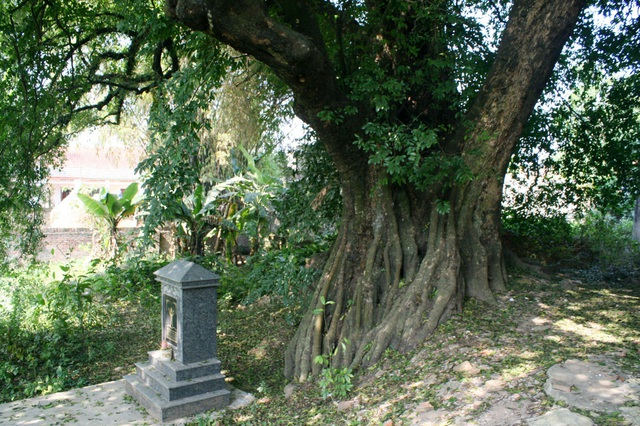 A thrilling story about the treasure of a thousand-year-old sacred tree in Hanoi - 10