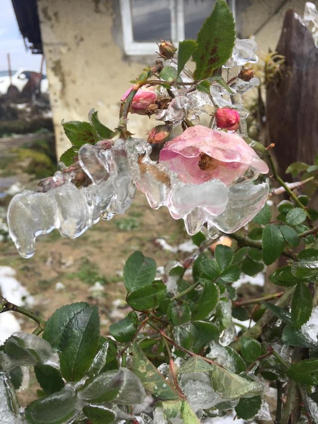 Hình ảnh đẹp nhưng buồn sau trận mưa tuyết ở vùng cao Ý Tý - 7