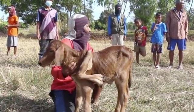 Dân làng Thái Lan đổ xô đến chạm vào bê đột biến 5 chân để cầu may - 1